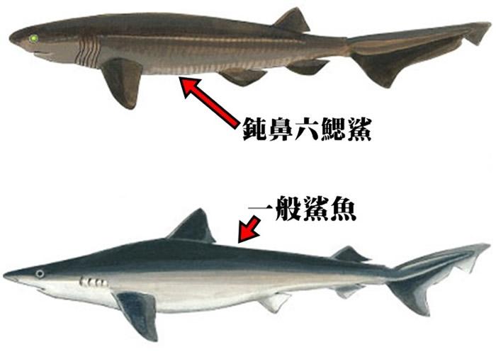巨鲨比一般鲨鱼的腮缝多。