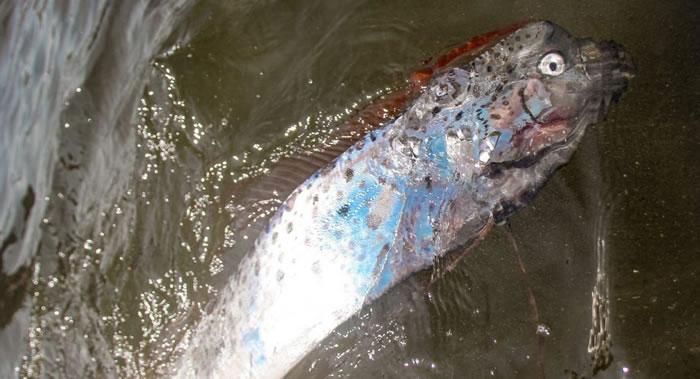 温暖的风压流为俄罗斯滨海边疆区海岸送来稀有皇带鱼
