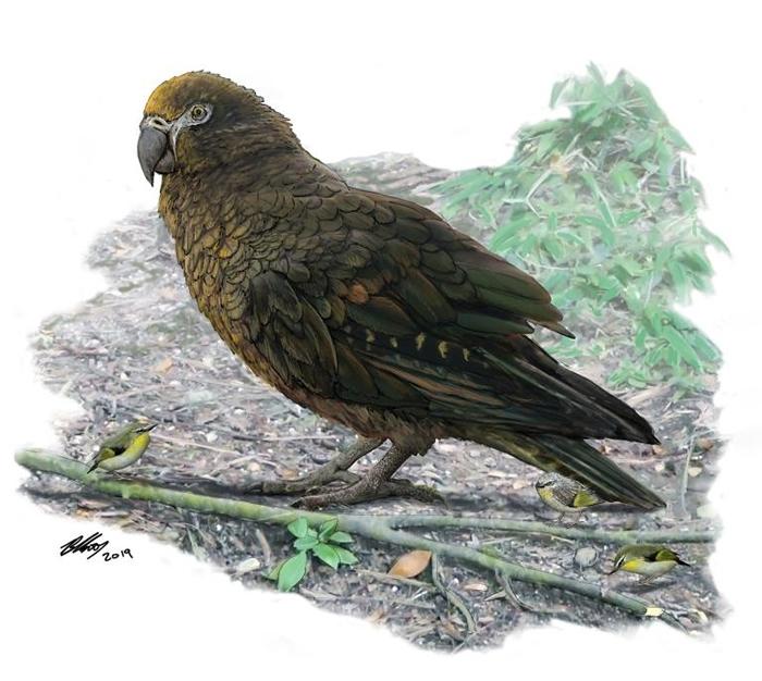 巨型鹦鹉「海克力士鹦鹉」(Heracles inexpectatus)在1600万至1900万年前存活于如今的纽西兰。 研究人员估计,这种巨型鹦鹉的体重可能超过
