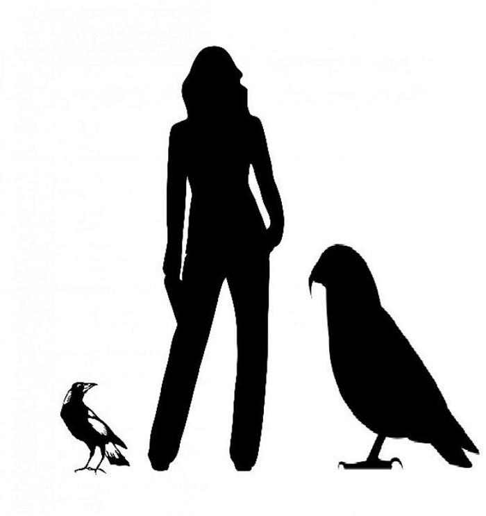 喜鹊、成人与巨型鹦鹉的剪影,显示体型差异。 ILLUSTRATION BY TH WORTHY AND P. SCOFIELD