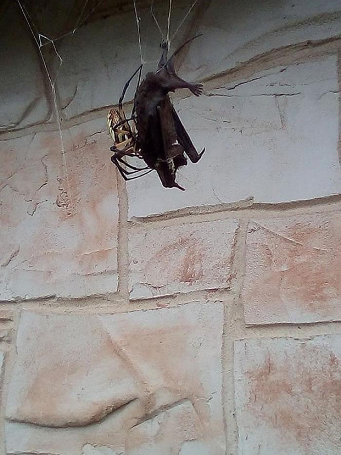 """美国德克萨斯州巨型蜘蛛""""花园蛛""""猎杀蝙蝠"""