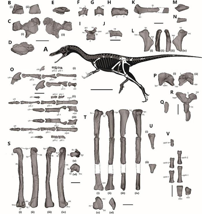 意外石树沟爪龙正型标本及骨骼线图。比例尺分别为200毫米(骨骼线图)和20毫米(化石)(秦子川供图)