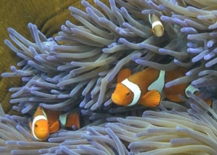 海水变暖会杀死为珊瑚供养的藻类。