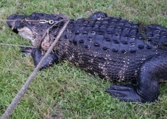 美国佛罗里达州比特犬遭拖进水中成点心 3.3米长巨鳄被擒