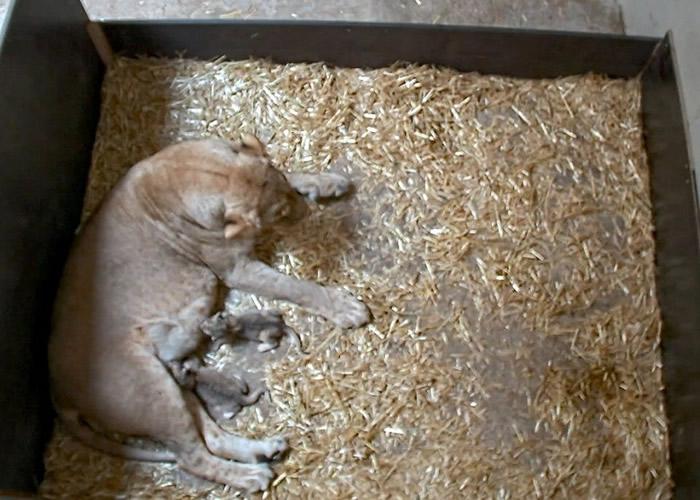 德国莱比锡动物园母狮突然吃掉它的两只新生小狮子