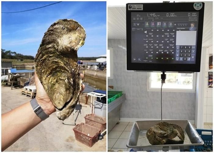 """法国旺代省巨型生蚝逃过餐桌命运 被命名""""Georgette""""后放回海中"""