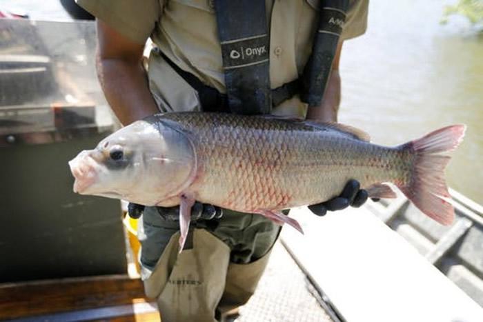 美国明尼苏达州水晶湖发现已存活112年的水牛鱼(胭脂鱼)