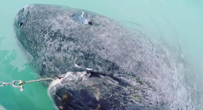 """科学家在格陵兰岛发现500岁的""""格陵兰睡鲨"""""""