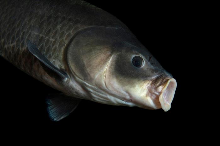 这条小鲤牛胭脂鱼(Ictiobus cyprinellus)摄于达科他州的加文斯角国家鱼类孵化场暨水族馆(Fish Hatchery and Aquarium)