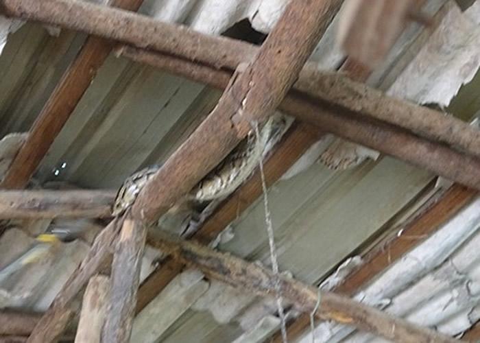 大蟒蛇盘锯在鸡棚的横梁上。