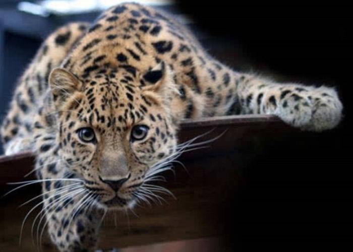 华北豹是中国一级保护动物。