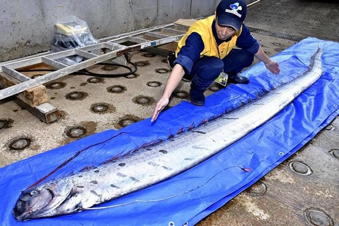 深海皇带鱼=大地震前兆?日本东海大学织原义明教