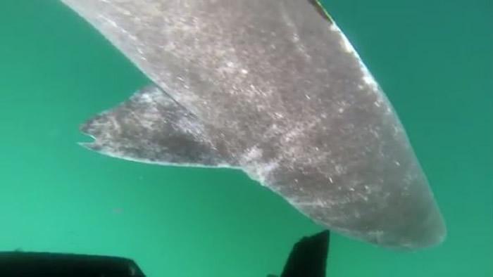 丹麦科学家在北大西洋发现514岁的格陵兰鲨