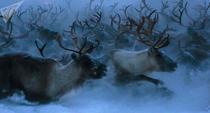 俄罗斯科学家宣布叶尼塞驯鹿群已完全灭绝