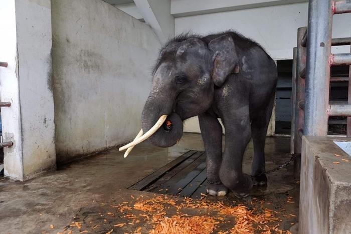 归宏是一只年幼的雄象,站在泰国北榄鳄鱼湖动物园兽栏中的牠,正等着8月6日星期二那天最后的时刻到来。 牠吃了些水果,然后被送上卡车,前往位于清迈的新家「大象自然公