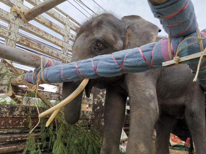 归宏在运输卡车上站了全程14个小时。 卡车上安装了木头横梁,泡棉衬垫,还有很多大象的食物。 PHOTOGRAPH BY SAVE ELEPHANT FOUNDA
