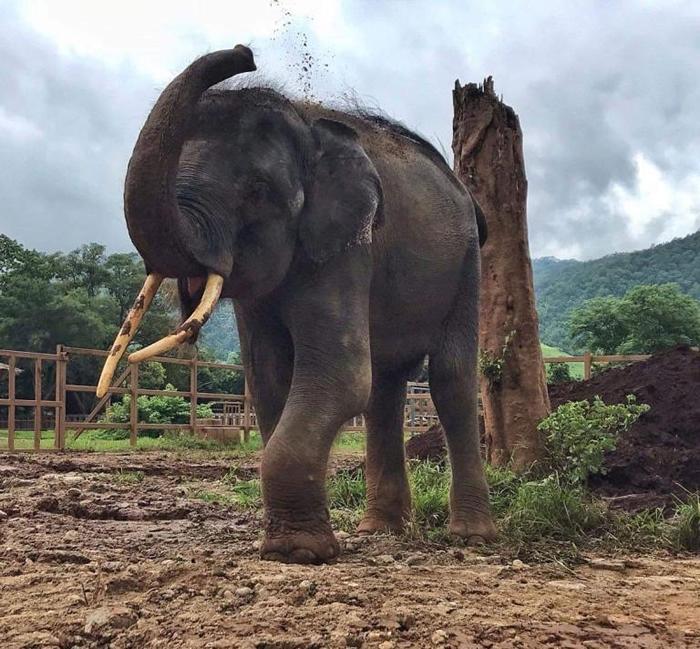 没有铁链捆绑的归宏,8月8号在大象自然公园园区内往自己背上扔泥土。 PHOTOGRAPH BY SAVE ELEPHANT FOUNDATION