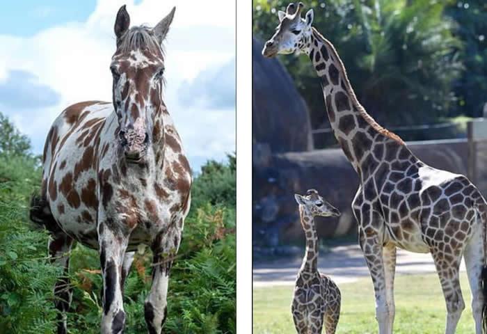 英国南部新森林国家公园发现一匹身上棕色斑点像是长颈鹿的马