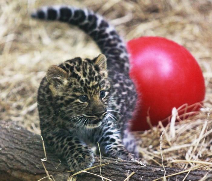 美国纽约州锡拉丘兹动物园一对罕有俄罗斯远东豹龙凤胎出生