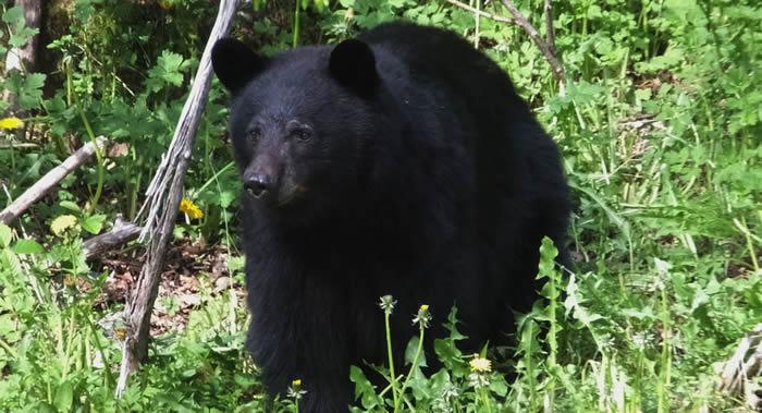 法国作曲家朱利安·戈捷在加拿大帐篷中睡觉时遇熊袭击身亡