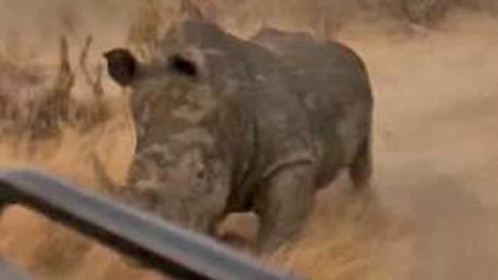 南非克鲁格公园愤怒的犀牛追逐汽车