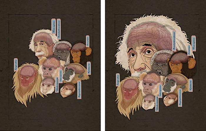 每个头像的大小代表相对脑容量。左侧:在不考虑演化积累的情况下,人脑的相对大小与其它类人猿的差别不大;右侧:去除演化积累的因素之后,人类支系脑的相对大小显著不同于