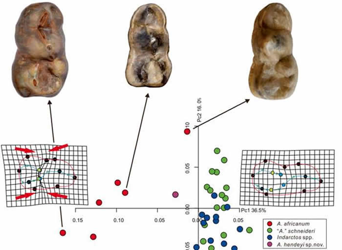 印度熊和郊熊牙齿结构区分(江左其杲 供图)