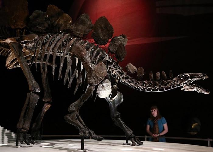 伦敦自然历史博物馆研究剑龙化石。