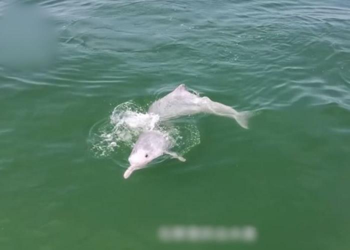 中华白海豚现身广东阳江 渔政执法:与休渔期有关