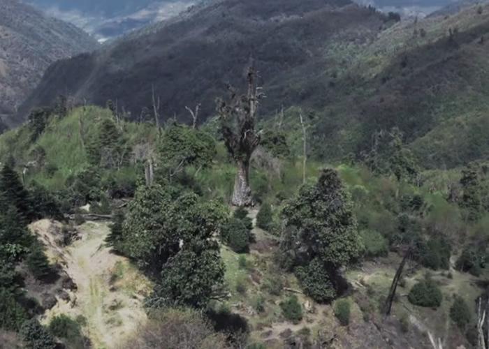 """""""铁杉王""""位处海拔3200米的山林中。"""