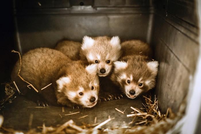 美国维珍尼亚州动物园诞下三胞胎小熊猫