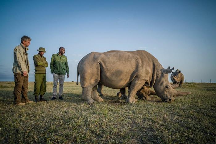 科学家成功在肯尼亚从仅存的雌性北方白犀牛身上抽取卵子 拟人工授精避免绝种