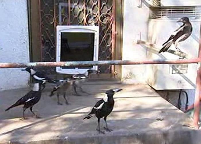 在屋内定居的喜鹊状甚自在。