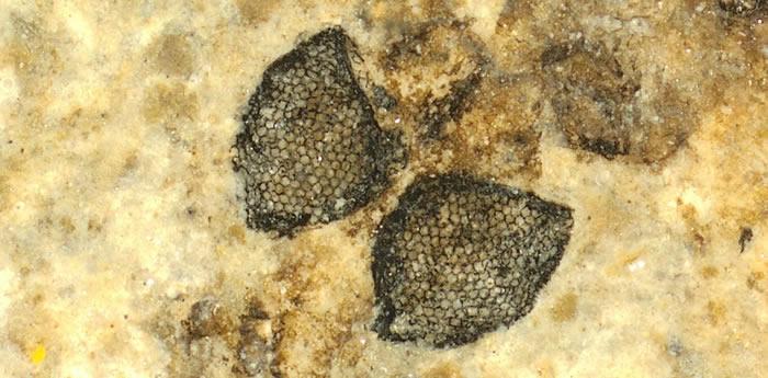 """5400万年历史大蚊眼化石带来""""新视野"""""""