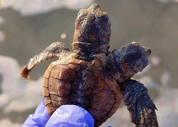 美国南卡罗莱纳州希尔顿黑德岛发现刚孵化出生的双头蠵龟 疑基因突变所致