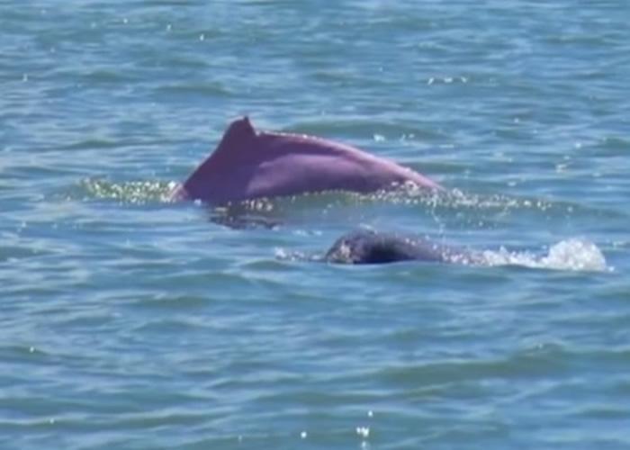 广东省湛江市大群海豚在海面跳跃翻腾戏水