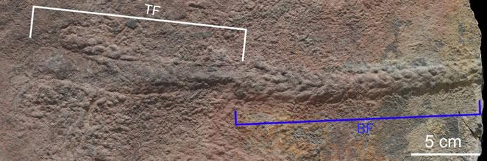 穗状夷陵虫化石(BF)和死亡前形成的遗迹(TF)。