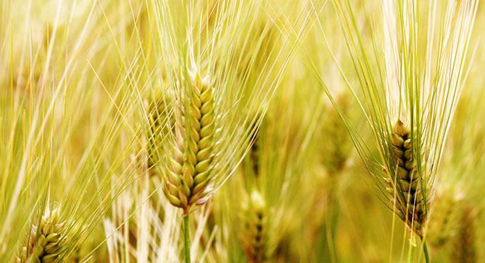 大麦的基因组中存在能够提高植物耐旱能力的基因