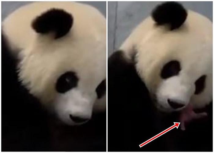 """德国柏林动物园大熊猫""""梦梦""""诞下双胞胎"""