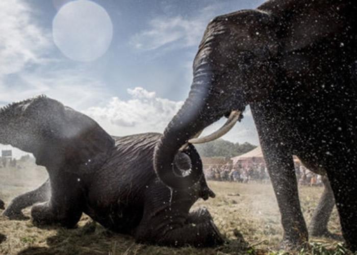 丹麦政府斥资1100万丹麦克朗使最后4只马戏团大象重获自由享受退休生活