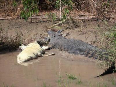泰国南部巴蜀府猴子遭蟒蛇缠住 数十只猴子包围仍救不