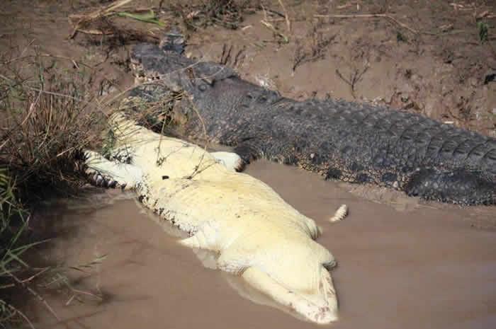 澳洲北领地5.5公尺巨鳄吞食4公尺鳄鱼