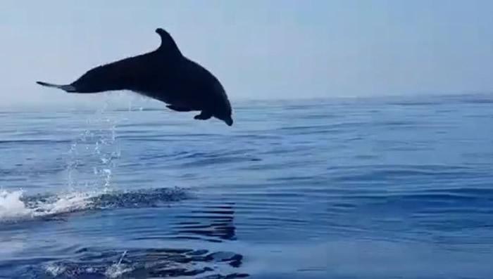 海豚宝宝被渔网缠住获意大利渔民解救 海豚妈妈不停地在海面翻滚跳跃表达谢意