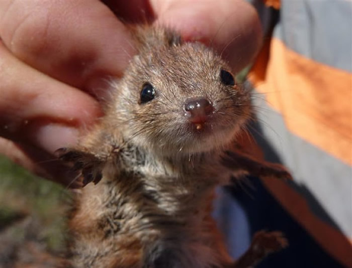 """澳洲特有有袋动物Kalutas雄性在繁殖期会不断交配 最后""""精尽人亡"""""""