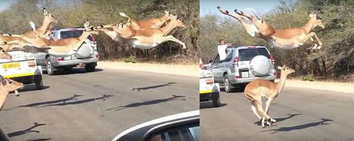 南非克鲁格国家公园马路上一群羚羊飞越车队 原来后面猎豹追杀