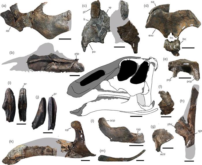 日本北海道发现的晚白垩世鸭嘴龙新属种Kamuysaurus japonicus揭示恐龙多样性