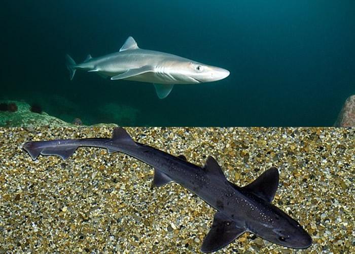 样本验出含有白斑角鲨(上图)和宽鼻星鲨(下图)的肉。