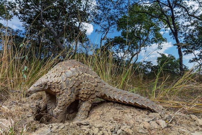 穿山甲看起来就像长满鳞片的食蚁兽,牠们因为可用于传统中药而受人垂涎。 PHOTOGRAPH BY BRENT STIRTON, GETTY/NATIONAL G
