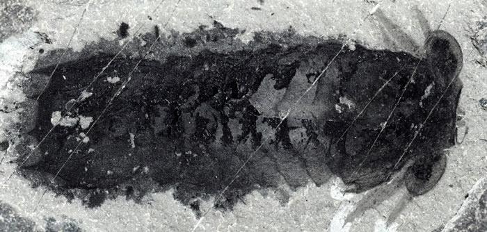 """寒武纪布尔吉斯页岩动物群中发现""""莫里森虫""""新物种 五亿年前化石揭螯肢类动物起源(Credit: Joanna Liang, Cédric Aria,©"""
