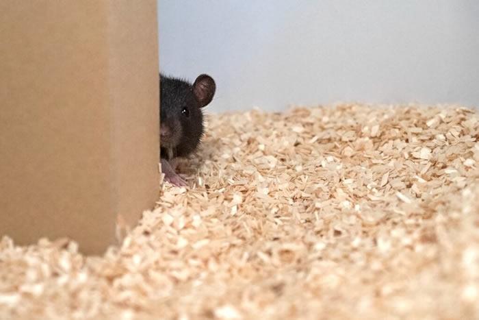 """和大鼠玩""""捉迷藏""""——阐释动物的游戏行为"""